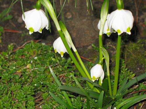 #kwiaty #śnieżyca #ogród