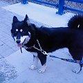 Mój najukochańszy piesek :* #pies #zwierzę #psiak #piesek #husky