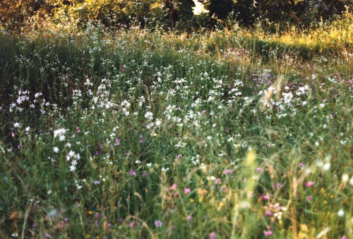 Polne kwiaty, Bosnja