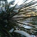 ZIMA #zima #lisc #igła #bialy