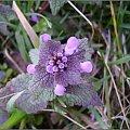 ulubiony fiolet... #kwiaty #wiosna #pokrzywa #łąka