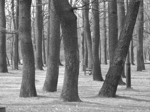 drzewa tańczące #drzewo #drzewa #taniec #Park3Maja #Łódź #Lodz