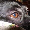 maxymalne zbliżenie oka. #pies #piesek #pieseczek #piesio #zwierzęta #beja #bejka #mój