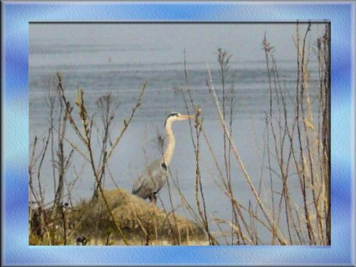Czapla spotkana po drodze nad morze #ptak #czapla #Wisła #widok