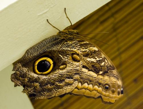 """ja nazwalabym go """"Cyklop"""" ma jedno oka na sobie jakby ze szlachetnego kamienia.. #motyle"""