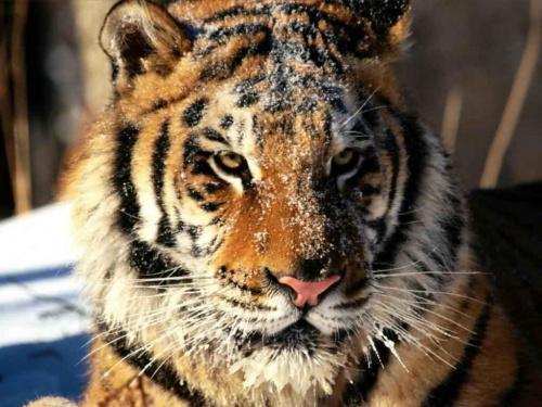 Tygrys #zwierzęta