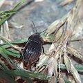 chrząszcz carabus #przyroda #natura #zwierzęta #owady #chrząszcze #biegaczowate #makrofotografia