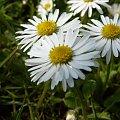 Stokroteczki... #stokrotka #biel #zieleń #kwiat #kwiaty