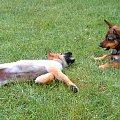zabawa psów(prawie jak walka)7 #dog #mlody #OwczarekNiemiecki #pies #piesek #rasa #rasowy #rodowod #suczka #szczeniak #kundel #zabawa #walka #zlosc #rodzina #glupota #miki #szczur