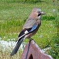 Sójka #ptaki #zwierzęta #sójka #flora #fauna