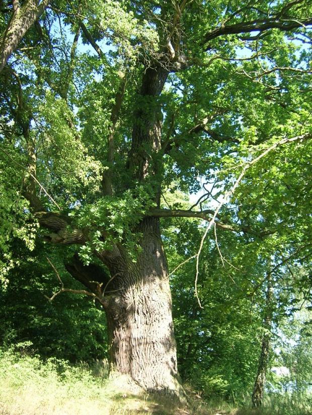 dąb 1 #dąb #drzewo