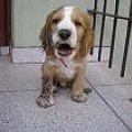 fado po zabawie #psy #spaniel #mały