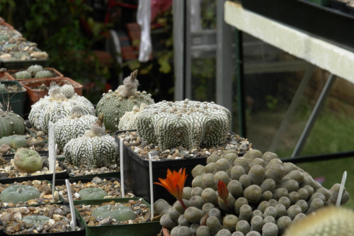 Astrophytum asterias superkabuto miracle star