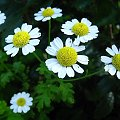 Kwiatki w lecie #kwiat #przyroda #biały #żółty #lato