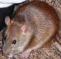Szczurcia #szczur #szczury #szczurek #szczurki #ogonek #ogonki #zwierzęta #gryzonie