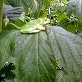 zdjęcie robione Motorolą K1 #żaba #zielone #liść #natura
