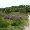 Holenderska ścieżka... #wrzosowisko #droga #ścieżka