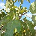 Figowiec na Cyprze. #drzewo #liście #figa #owoc