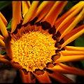 kwiatek #stokrotka #makro #kwiatewk
