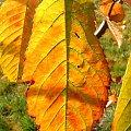 kolorowy liść gruszki #lisc #liść #zółć #kolor #złoto #barwa #barwy #kolory #jesien #jesień #piękno #natura #przyroda #macro #PaletaBarw #tęcza