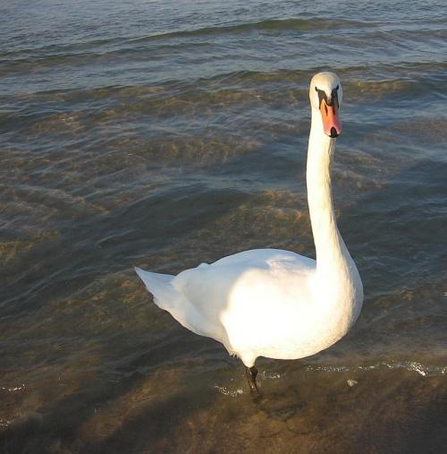 #łabędzie #ptaki #morze