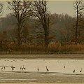 Czaple siwe jedna biała z prawej a wszystko patrolują mewy...braki sprzętowe ni pozwalają zrobić bliżej ale mam nadzieję że wiosną to się zmieni #jesień #ptaki #czapla #woda