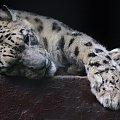 Zoo Ostrava #drapieżnik #kot #zoo