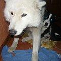 #pies #zwierzęta #piękny #AlaskanMalamute