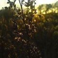 nad Odrą #natura #krzak #żdżbło