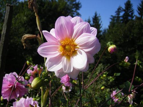 Kwiatek koło domu :D w pełnej okazałości :D #Kwiat #Mudulinek