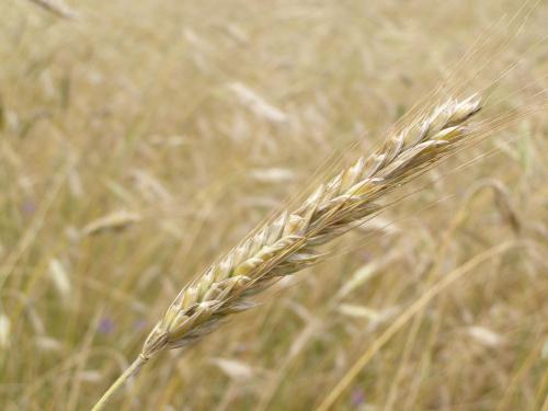 Kłos #Kłos #pole #wieś #żyto #pszenica