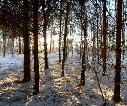 Zimowy las. #drzewa #zima #las #słońce #mróz #śnieg