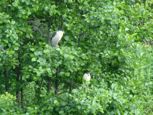 Ślepowron zwyczajny #Ptaki #przyroda #zwierzęta #natura