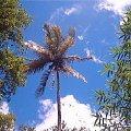 Palemka / Laudat / Dominica / Karaibik 2006 #palma #karaiby #dominica #wyspa #wakacje #drzewo
