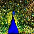 pawie zaloty:) #evasaltarski #paw #ptak
