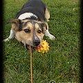 Pysiolek - spacerki między 7 a 20 października 2007 #pies #Pika #kundelek #spacer #ściernisko #słoma