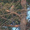 Ptaki #Ptaki #KrynicaMorska #urlop #sójka