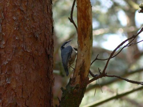 Kowalik #Ptaki